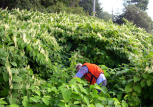 Gardner working in knotweed forest